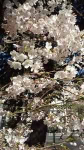 大江の撮った桜